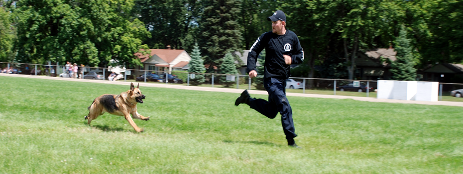 K-9 in Pursuit during the Apprehension Phase